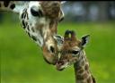 giraffebb.png